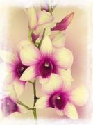 dendrobium phalaenopsis hybrid orchid - stock photo