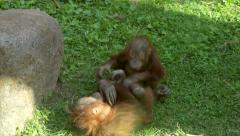 Game of two orangutan brothers on the grass. Stock Footage