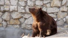 Full length portrait of a brown bear female is catching food. Stock Footage