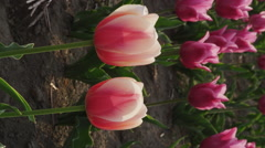 Tulips blooming in Springtime Stock Footage