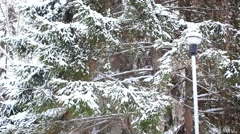 Snow covered tree spruce in winter time snowfall. Christmas background. HD. Stock Footage
