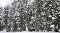 Snow falling on green thuja trees backdrop - stock footage