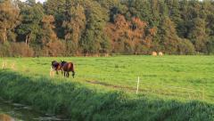 Horses, two brown horses moving through grass, step by step Stock Footage