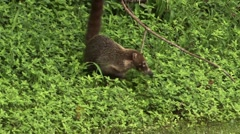 Single Coati alone in panama Stock Footage