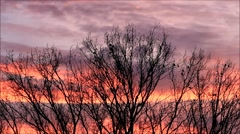 Meeting of ravens on a tree, crows, red clouds Stock Footage