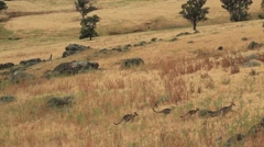 Kangaroos in the Australian bush Stock Footage