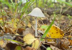 Stock Photo of Poisonous toadstool