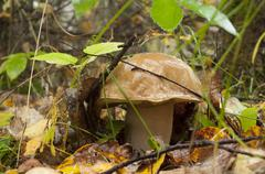 Stock Photo of Boletus edulis in autumn