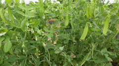 Peas on the Vine dolly shot Stock Footage