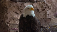 American bald eagle turns his head and shouts, close up. - stock footage