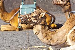 Camels at timanfaya national park wait for tourists for a guided tour Stock Photos