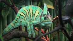 Сhameleon sitting on a tree and rolling his eyes Stock Footage
