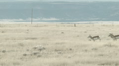 Pronghorn running by Stock Footage