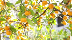 Tree With Tangerines Stock Footage