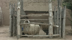Sheep in an old western pen Stock Footage