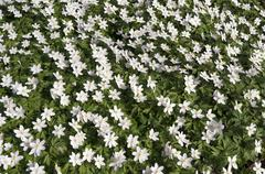 Wild wood anemone. Stock Photos