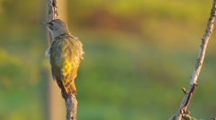 Bird Grey-headed woodpecker perched on a tree branch in morning light Stock Footage