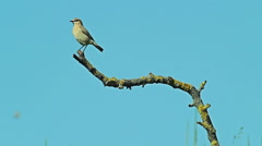 Exotic Bird Isabelline Wheatear perching on the bush branch. Blue sky background Stock Footage