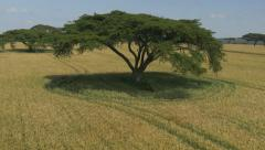 AERIAL: Low flight over wheat field in Africa Stock Footage