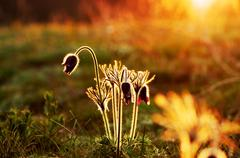 Pasque Wild Flower Group in setting sun Stock Photos