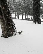 gray squirrel in park in snowstorm - stock photo