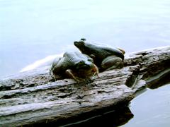 two frogs on a log - stock photo