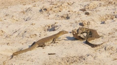 Iguana feeding prey in its mouth Stock Footage