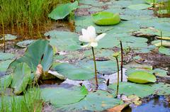 White lotos with green leaves on the lake in Sri Lanka  Stock Photos