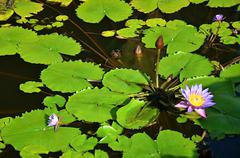 Water lily on the lake in Sri Lanka  - stock photo