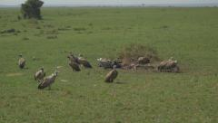 SLOW MOTION: Vultures eating the flesh of dead buffalo - stock footage