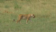 Lioness walking across the savannah to young lion in the bush - stock footage