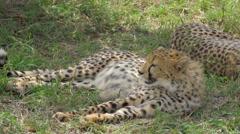 CLOSE UP: Cheetahs in Maasai Mara - stock footage