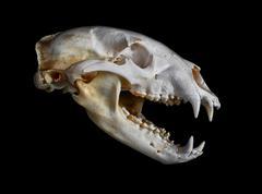 Black Bear Skull - stock photo