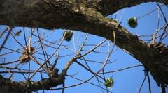 Africa Bantajã weaver birds nests in a tree Guinea Bisseau Stock Footage