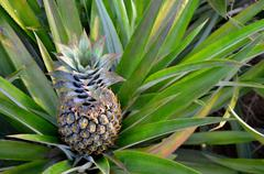 Detail of tropical fruit pineapple Stock Photos