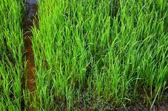 detail of green rice with water path - stock photo
