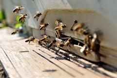 Life of bees. Reproduction of bees Stock Photos