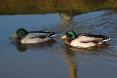 Duck - Mallard - Anas platyrhynchos - stock photo