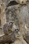 Meerkat - Suricata suricatta - stock photo
