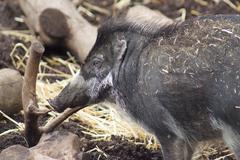 Visayan Warty Pig - Sus cebifrons Stock Photos