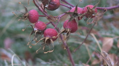 Autumn Wild Rose Hips 2 Stock Footage