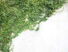 green creeper - stock photo