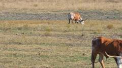 Long horn cattle texas 4k Stock Footage