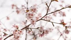 Beautiful sakura flowers in spring closeup footage Stock Footage