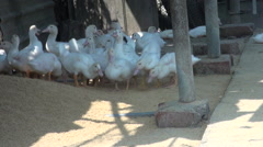 Domesticated ducks. Farm in Taiwan. Stock Footage