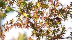 Maple leaves fluttering in the wind, Tokyo, Japan Stock Footage
