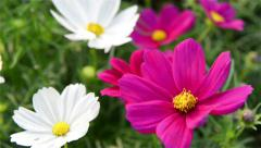 Purple and white chrysanthemum come into focus Stock Footage