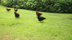 Free range livestock chickens in beautiful green grass - stock footage
