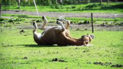 Stock Video Footage of Horse rolling on the ground