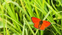 Butterfly large copper (lycaena dispar)  on green grass Stock Photos